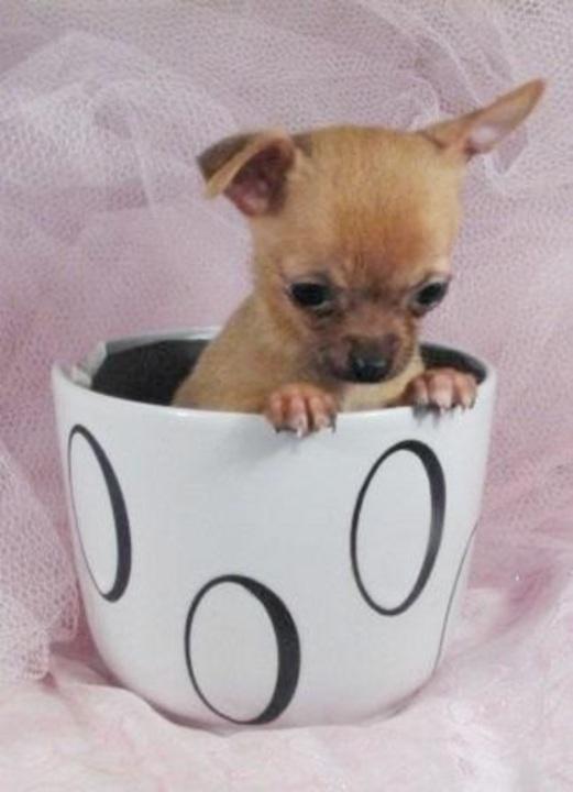 miami herald classifieds pets animals chihuahua english