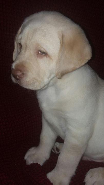 The Muskogee Phoenix Classifieds Pets Purebred English Lab