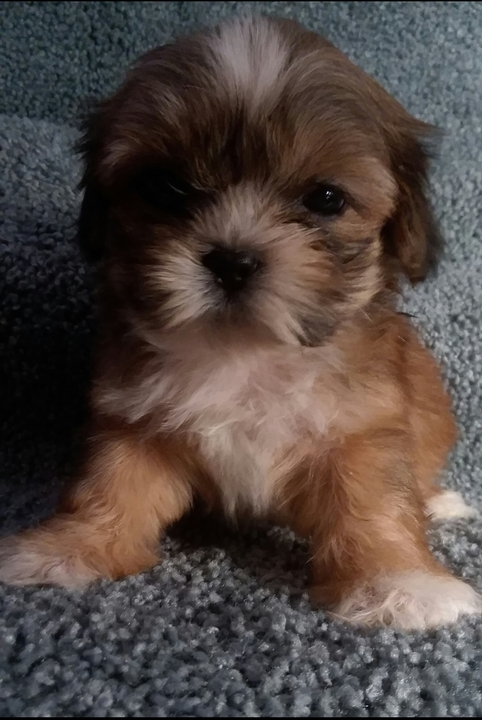 Record Eagle Classifieds Pets Purebred Shihtzu Puppies Beau