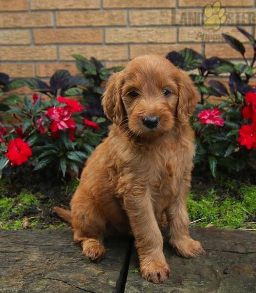 Pittsburgh Post Gazette | Classifieds | Pets | Goldendoodle