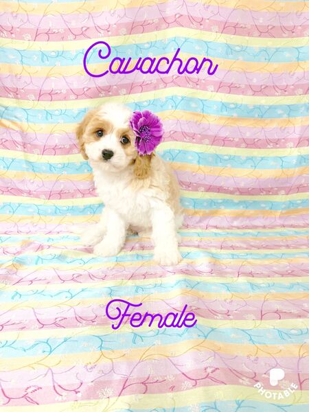 Pittsburgh Post Gazette | Classifieds | Pets | Cavachons & Cavapoos