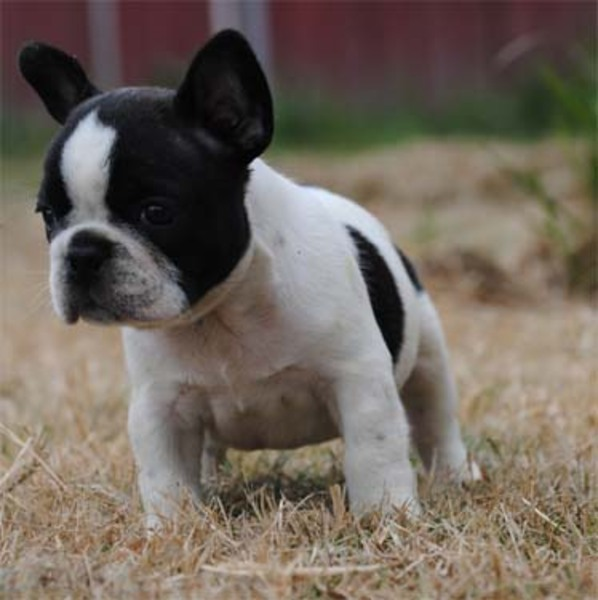 Seattle Times | Classifieds | Dogs | AKC French Bulldog