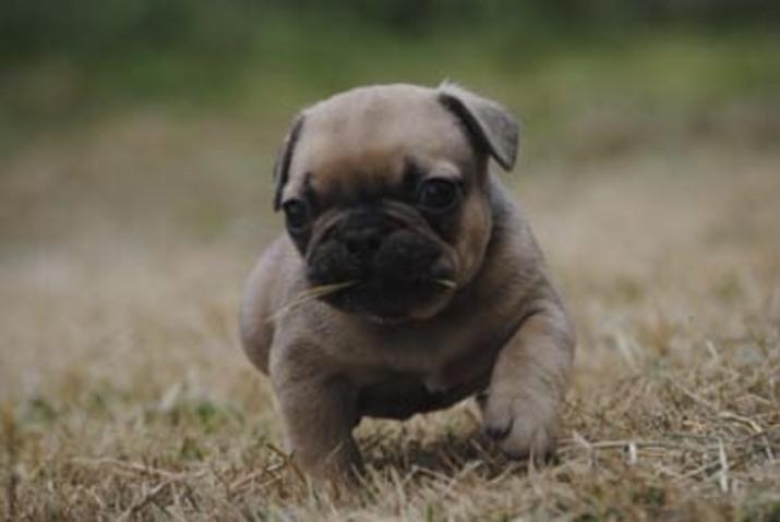 Seattle Times | Classifieds | Pets | AKC French Bulldog