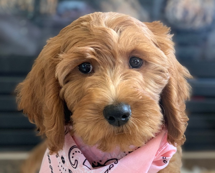 Seattle Times Classifieds Dogs Goldendoodles