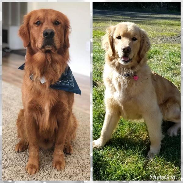 Seattle Times | Classifieds | Pets | AKC Golden Retriever