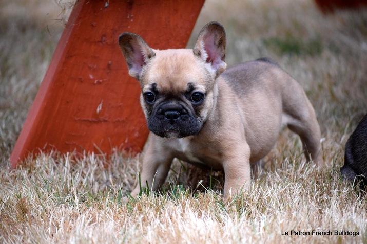 Pets | AKC French Bulldog Puppies - Seattle Times | Classifieds