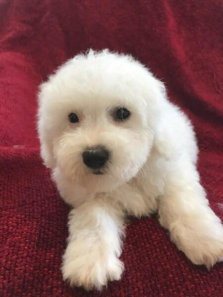 Seattle Times | Classifieds | Dogs | Cavachon and Bichon