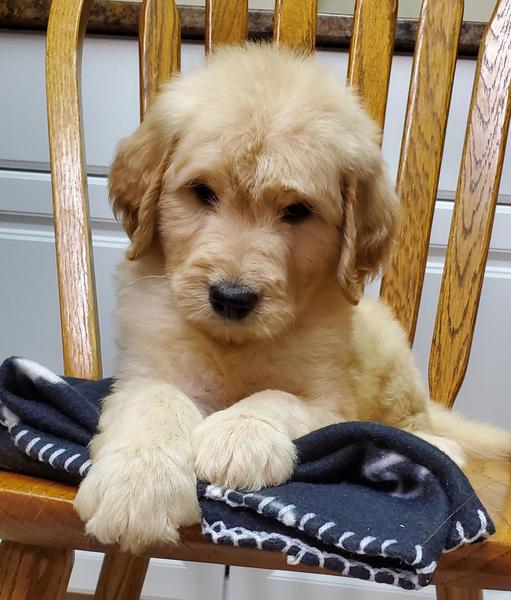 Seattle Times | Classifieds | Dogs | F1 Standard