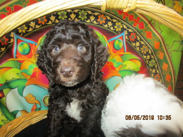 Seattle Times Classifieds Pets American Labradoodle Pups