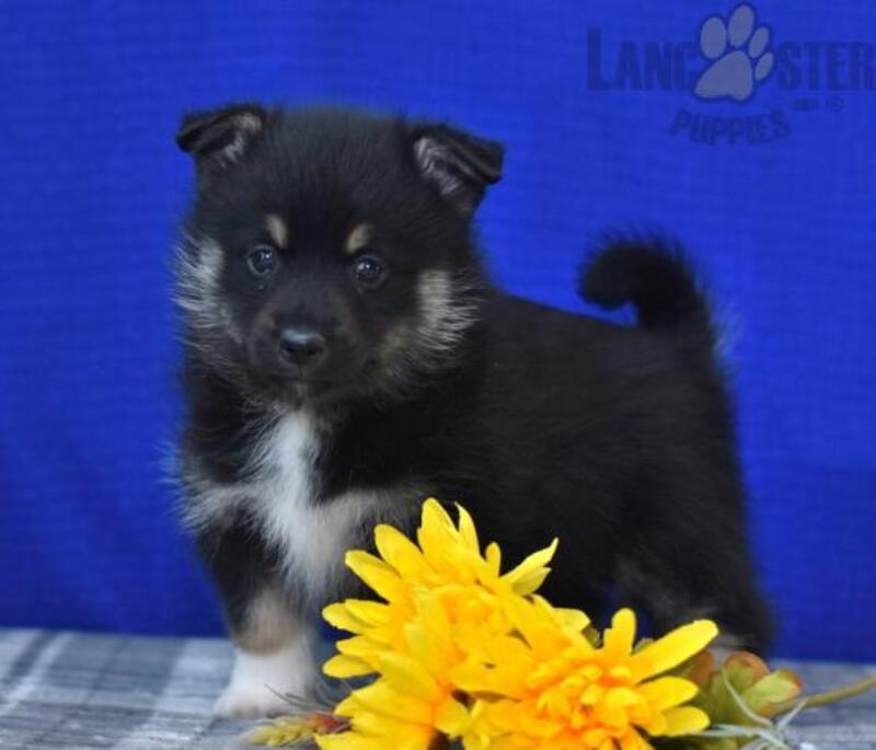 Pittsburgh Post Gazette | Classifieds | Pets | Pomsky Puppies