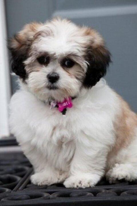 Seattle Times Classifieds Dogs Shichon Puppies Shih Tzu