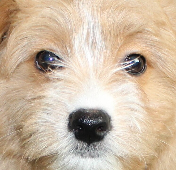 Seattle Times Classifieds Pets Adorable Eskipoo Puppies