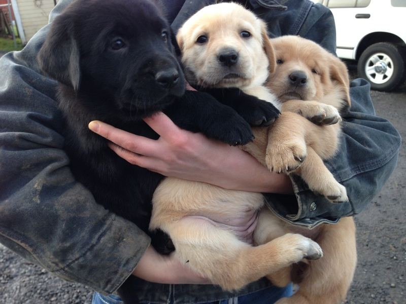 Seattle Times Classifieds Pets Golden Retriever Lab Mix Puppies