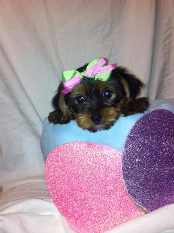Pittsburgh Post Gazette | Classifieds | Pets | HAVAPOO PUP