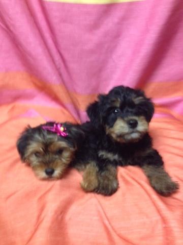 Pittsburgh Post Gazette   Classifieds   Pets
