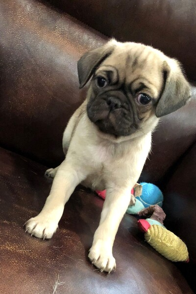 Dallas ebay classifieds dogs puppies