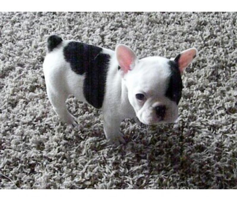 miami herald classifieds pets animals all breeds bulldogs