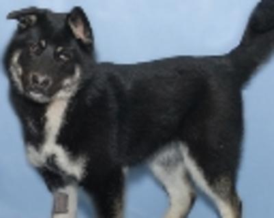 Ottawa Citizen | Classifieds | Pets | AKC Boxer Puppies Brindle & F
