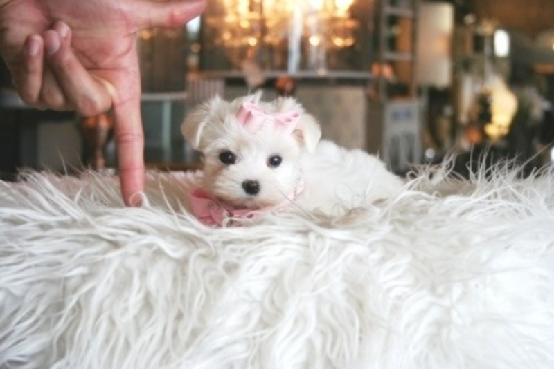 Miami Herald Classifieds Dogs Teacup Puppies For Sale Teacup