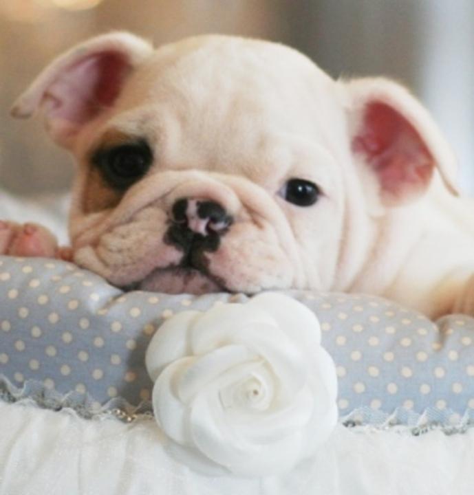 Miami Herald Classifieds Pets Animals English Bulldogs