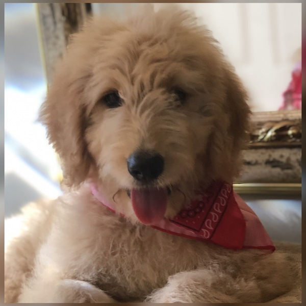 Charlotte Observer | Classifieds | Pets & Animals | Goldendoodle