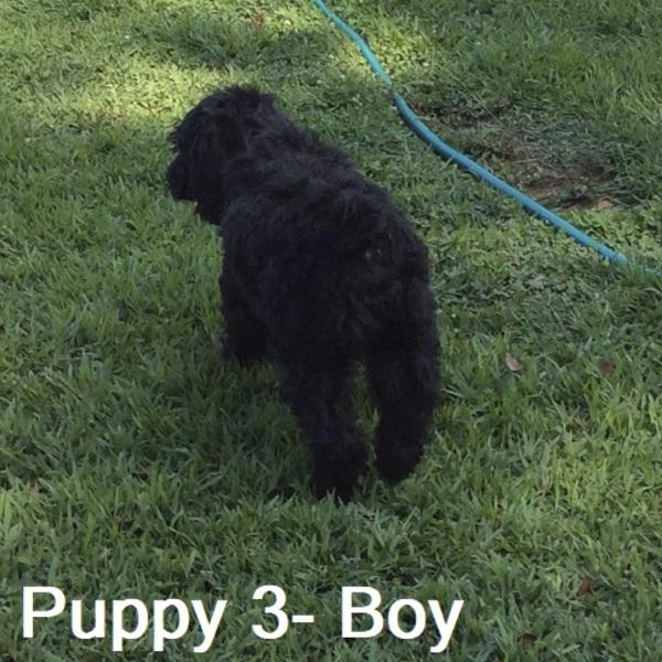 Charlotte Observer | Classifieds | Dogs | Newfiepoo AKA