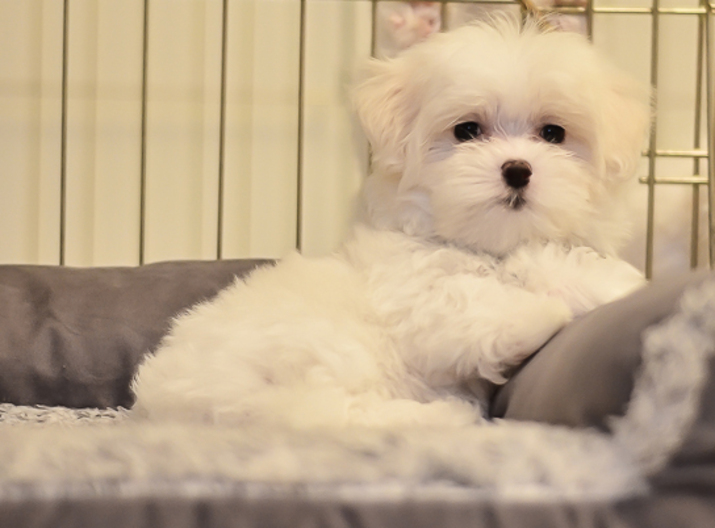 Charlotte Observer | Classifieds | Pets & Animals | Maltese
