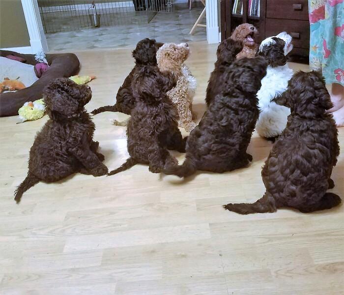 Lexington Herald | Classifieds | Dogs | Trained Labradoodle