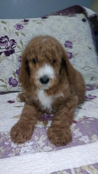 Kansas City Star Classifieds Pets Standard Poodle