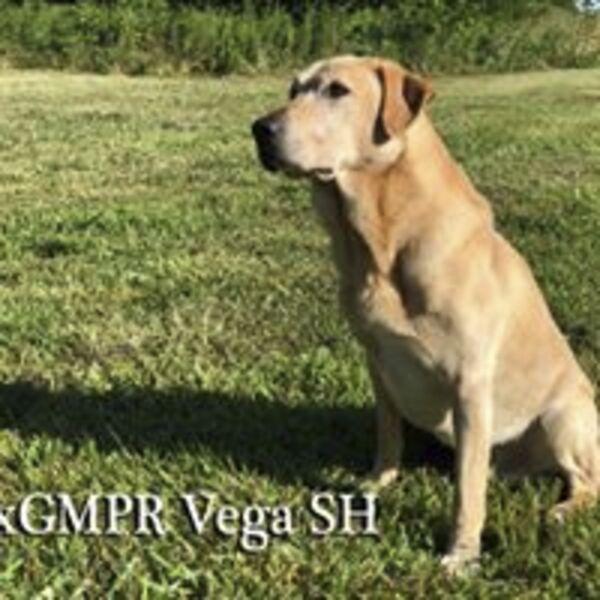 Kansas City Star   Classifieds   Dogs   AKC LAB PUPPIES