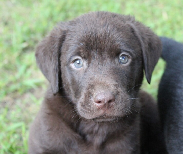 Kansas City Star   Classifieds   Pets   AKC Lab Puppies for sale