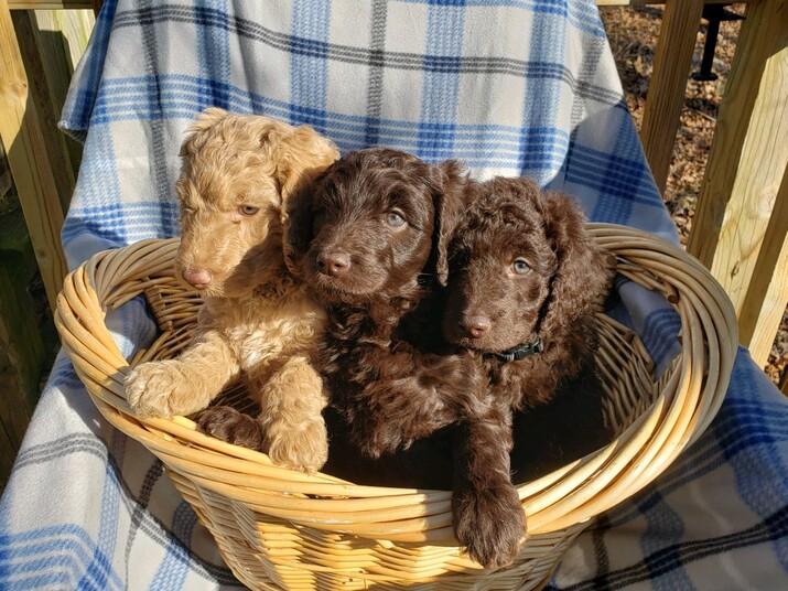 Kansas City Star Classifieds Dogs Precious F1b