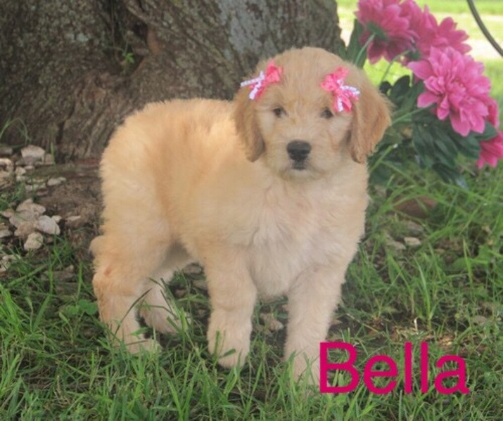 Kansas City Star | Classifieds | Dogs | Goldendoodle puppies