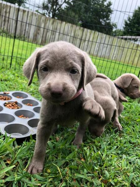 Kansas City Star | Classifieds | Dogs | AKC Silver Lab