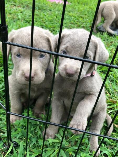 Kansas City Star | Classifieds | Pets | AKC Silver Lab
