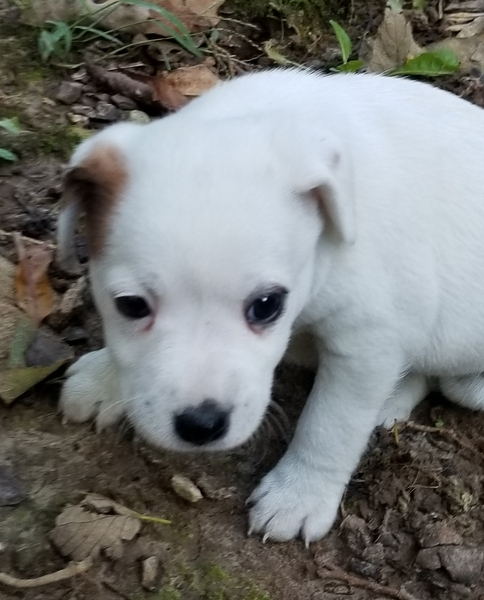 Kansas City Star Classifieds Dogs Adorable Jack Russell