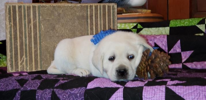 Idaho Statesman | Classifieds | Dogs | White English Labradors