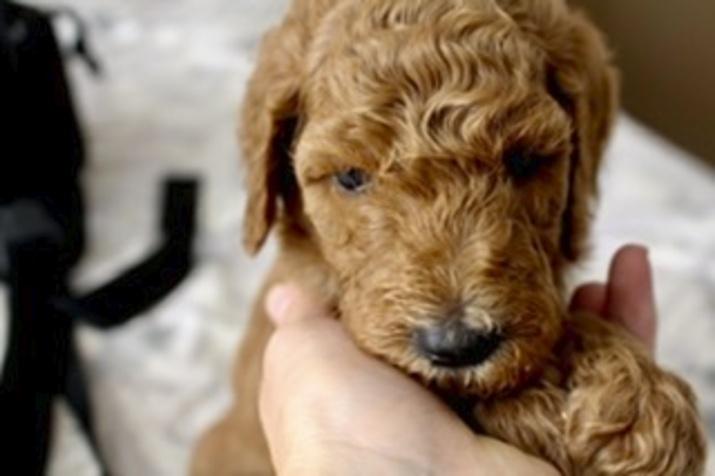 Idaho Statesman Classifieds Dogs Male Akc Standard