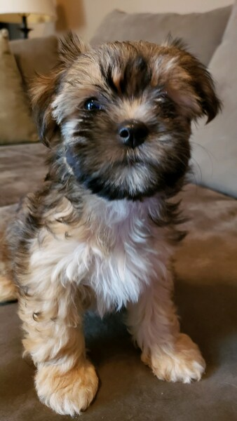 Daily Herald | Classifieds | All Categories | Teddy Bear Puppies