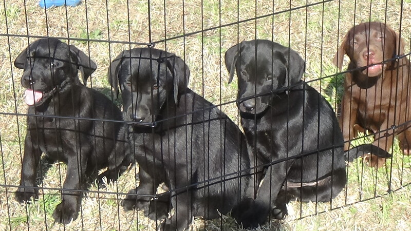 Columbia The State | Classifieds | Dogs | AKC Lab Puppies