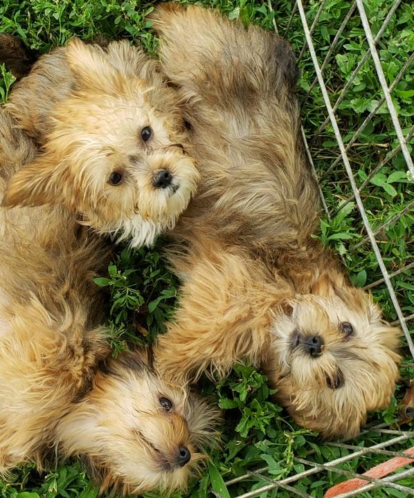 Belleville News | Classifieds | Pets & Animals | Yorkie-apso