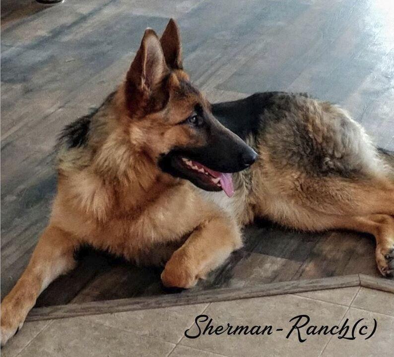Sacramento Bee Classifieds Pets German Shepherd Puppies 4