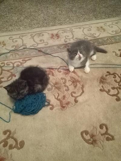 Kansas City Star | Classifieds | Cats