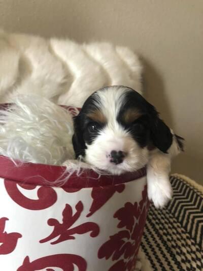 Kansas City Star Classifieds Pets