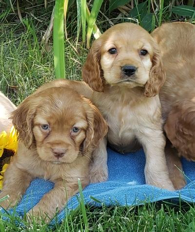 Idaho Statesman | Classifieds | Dogs | F1b sheepadoodle