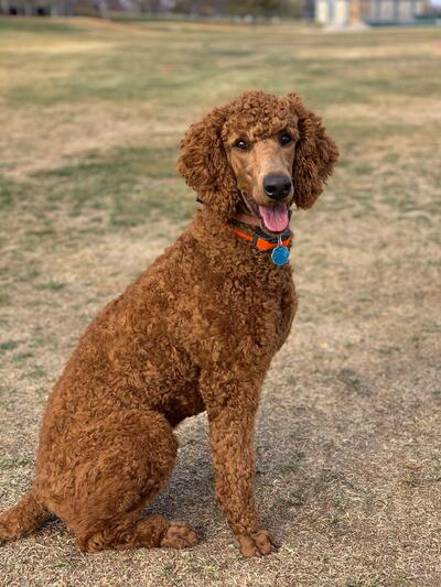 Idaho Statesman | Classifieds | Pets & Animals | Cane Corso