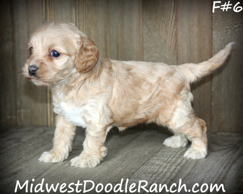 Kansas City Star  Classifieds  Dogs  Cockapoo And Mini Bernedoodle -5883