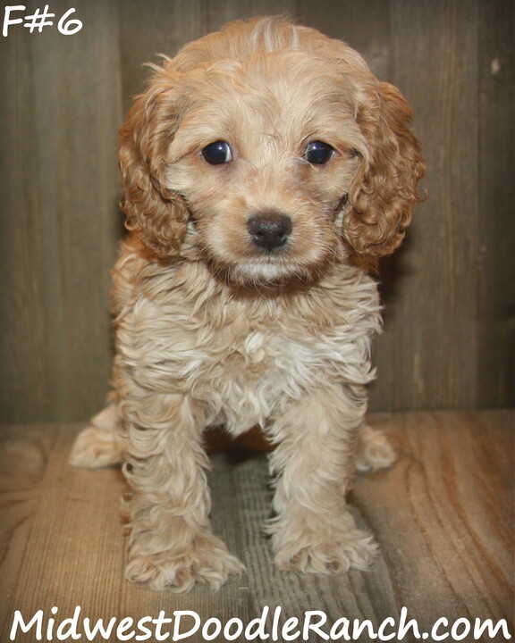 Kansas City Star  Classifieds  Dogs  Cockapoo And Mini Bernedoodle -5765