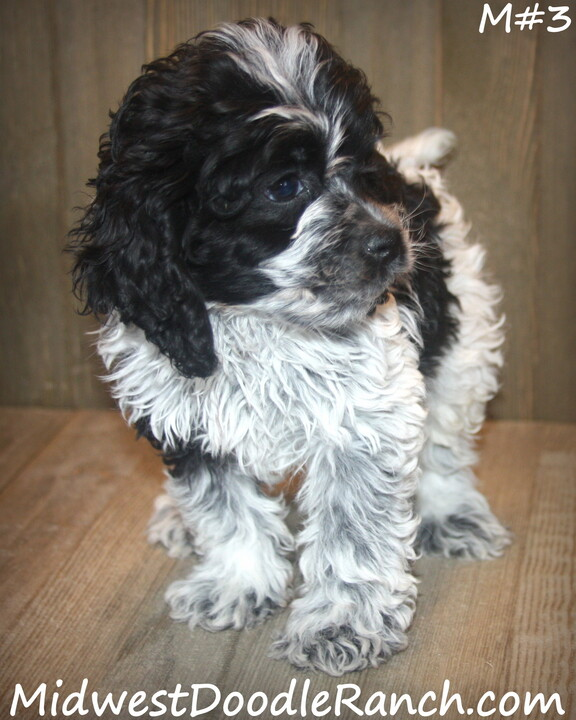 Kansas City Star  Classifieds  Dogs  Cockapoo And Mini Bernedoodle -1008