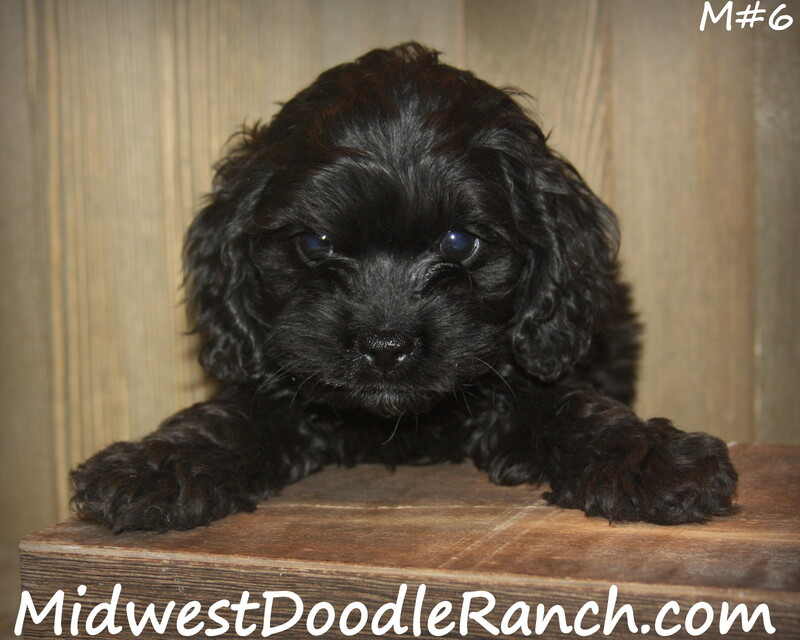 Kansas City Star  Classifieds  Dogs  Cockapoo And Mini Bernedoodle -5523